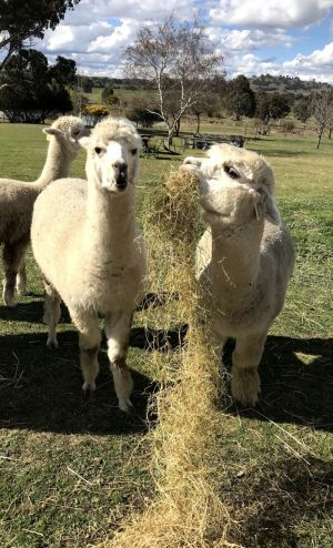 Clearview Alpacas - Accommodation BNB